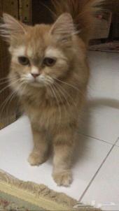 يوجد قطط شيرازي للبيع 2ذكر و1انثى