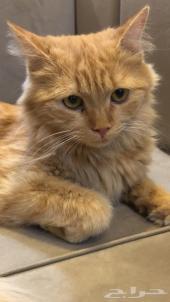 قطه شيرازي للبيع في الخرج