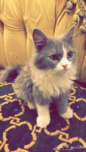 قطة شيرازية باندا