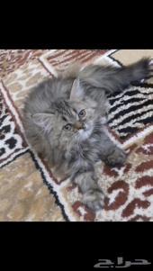 للبيع قطه شيرازيه