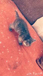 قطه امريكيه  شرازي  كيتنز