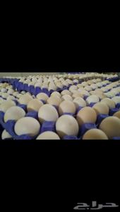بيض دجاج ملقح للفقاسات في المدينه
