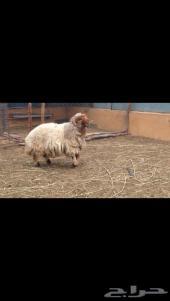للبيع خروف وذبيحه