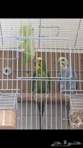 زوج بادجي منتج  طيور الحب تحتهم بيض