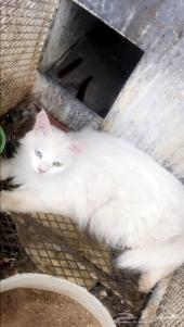 البيع اليوم قطط شرازي لون ابيض