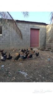 دجاج بياض الجوف