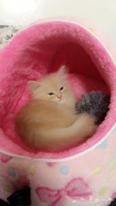 قطه بيرشن كريمي بمكه