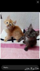 قطتين شيرازي إناث وذكر