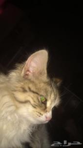 قط شيرازي وقط ساد فيس