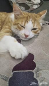 قطة امريكيه شيرازي 5 شهور للتبني