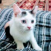 قطط للبيع حائل