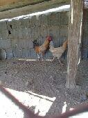 دجاج بلدي نظيف