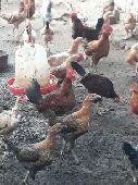 دجاج بلدي اربعة شهور