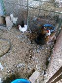 دجاج بلدي للانتاج