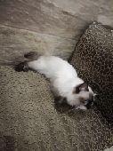قطة هملايا شوكلت