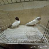 جوز رقاص وجوز سوداني البيع سمح.