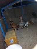 خمسه فروخ دجاج باكستاني تم البيع