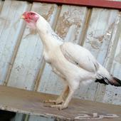 دجاجه فارسيه