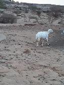 خروف فحل من غنم شهران للبيع