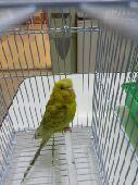 جدة - طيور بادجي