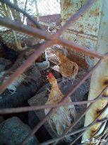 دجاج مختلف الأعمار