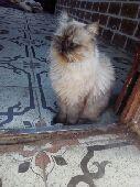 قطط - قطه الايفه  ل البيعع