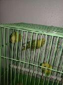 لبيع طيور الحب وكناري