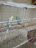 زوج طيور حب ( بادجي ) للبيع