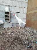 فروخ دجاج باكستاني ابيض