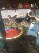 ثلاث دجاج يرجن على البيض ومعه فروخ