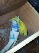 تبني طيور مصابه بالكساح و النتف والنحافه