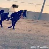حصان شيخ