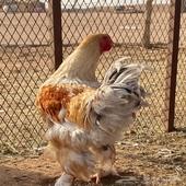 طقم دجاج براهما.   بالرس