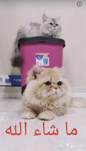 قطط ذكور للتزاوج