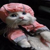 قطط - الانثى الشيرازيه