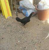 دجاجه باكستانيه أسود صك لمعه