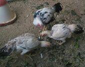 طقم فارسي تب ثلاث دجاجات منتجة وديك