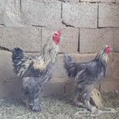 دجاج براهما وهجين فارسي