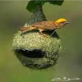 طيور النساج العربي   الحباك