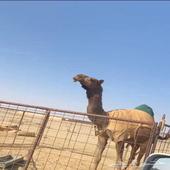 بكره صفرا معشر كفوو