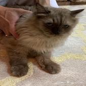 قطة شيرازية وقطة هجينه شرازية امريكية للبيع مع القفص