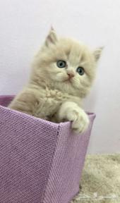 إعلان قطط