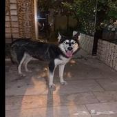 الرياض - كلب اليف