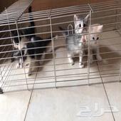 اربع قطط مهجن من ام شيرازي