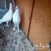 جوز صنعاني أبيض صك مع فرخه شوشه و مشرب