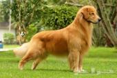 كلب جولدن ريتريفر بيور مستورد للتزاوج (تلقيح