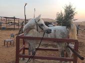 حصان واهو مكس جمال