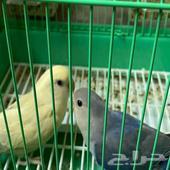 فرخين عصافير روز بلو ( أزرق ) واصفر