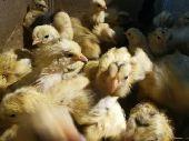 صيصان بلدي مزرعة الاجيال للدجاج