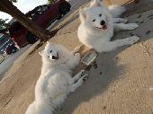 كلاب السامويد